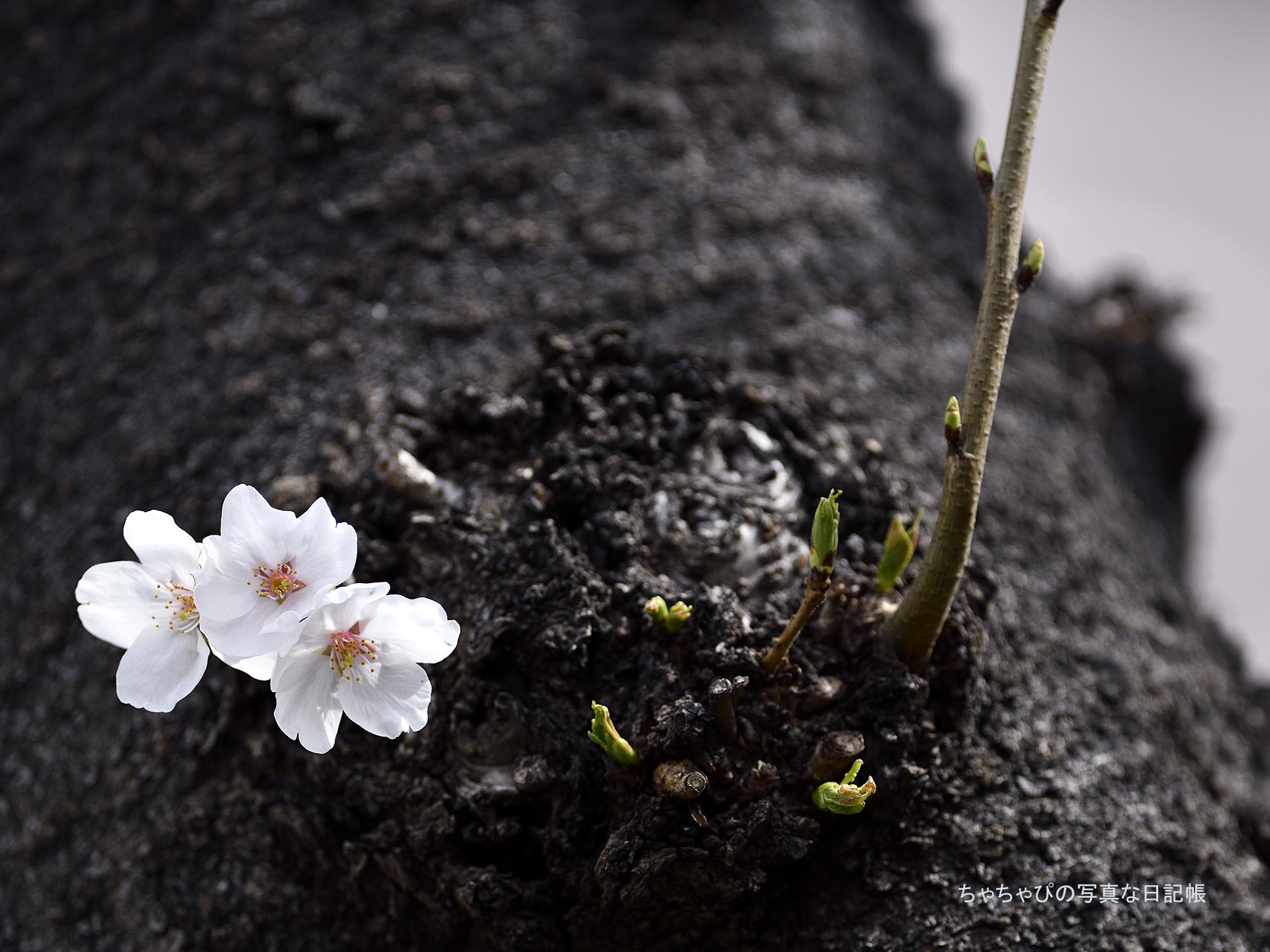2018.03.18 呑川本流緑道 さくら