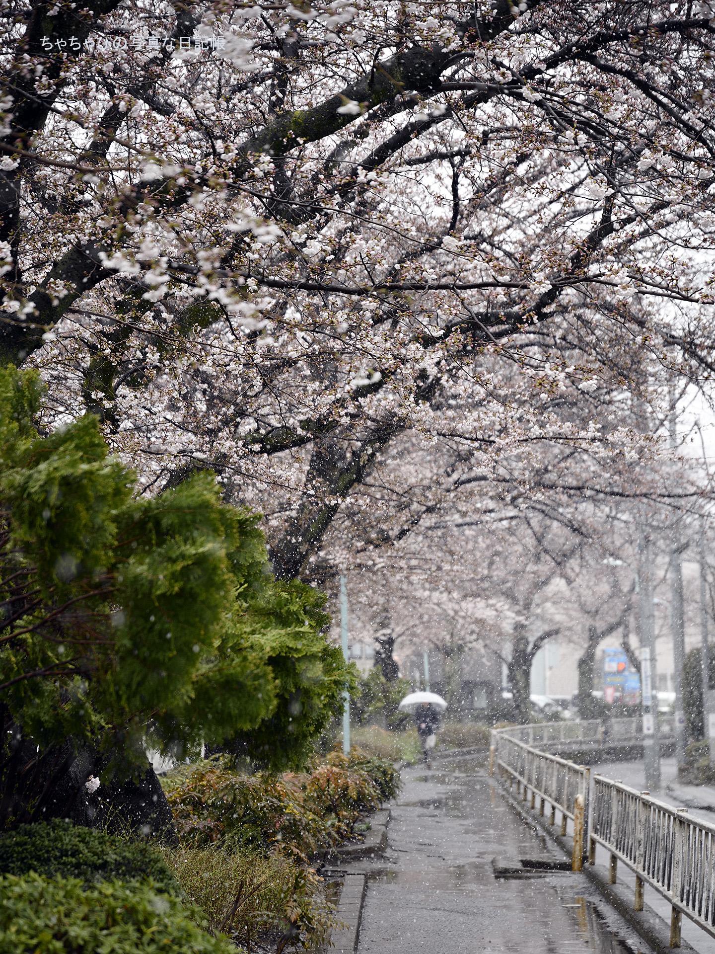 2018.03.21 呑川本流緑道 さくら
